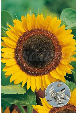 SUNFLOWERS FOR SEED