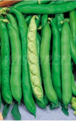 Broad Bean Extra-Precoz Muchamiel ALCAZAR