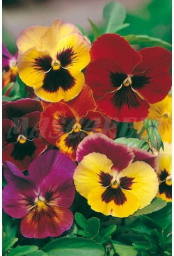 GIANT PANSY SWISS MIXED