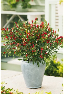 "PIMIENTO FIRE CRACKER ""ORNAMENTAL PICANTE"""