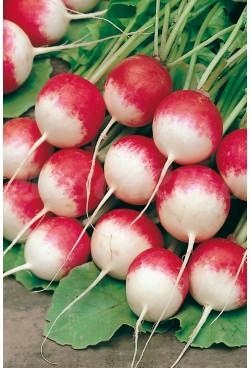 RADISH ROUND RED WITH WHITE TIP