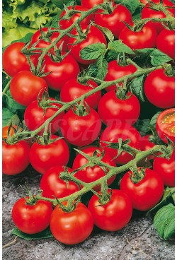 TOMATOES FOR HANGING