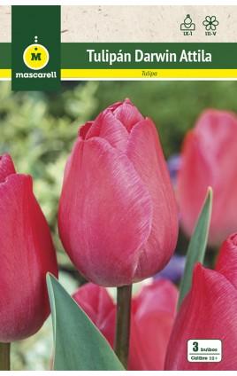 Tulipan Attila