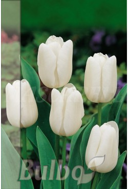 Tulipan White Dream