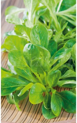 CANONIGOS (Valerianella locusta)