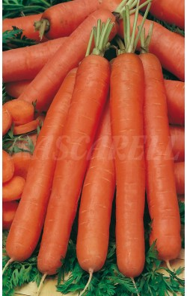 Zanahoria Nantesa - TIRA 5 m