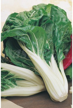 "SWISS CHARD WITH WIDE, WHITE STEM 2 ""RAINBOW-ECO"""