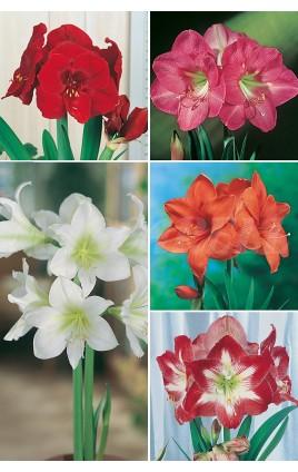 Amaryllis SUPER YUMBO 34/+ AMS-2  20 FLOWERBULBS