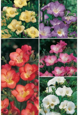 Freesias Simples FR-1 750 BULBOS 7/+