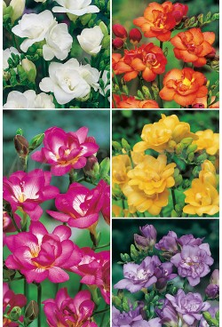 Freesias Dobles FR-2 750 BULBOS 7/+