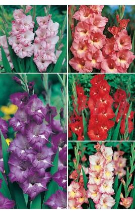 Gladiolos YUMBO GLS-3 cal.16+ 300 FLOWERBULBS