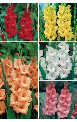 Gladiolos YUMBO GLS-4 cal.16+ 300 FLOWERBULBS