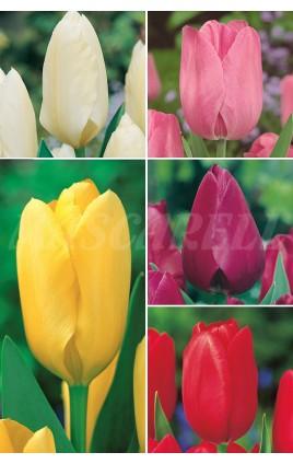 Tulipanes Darwin TP-2 12+ 300 FLOWERBULBS