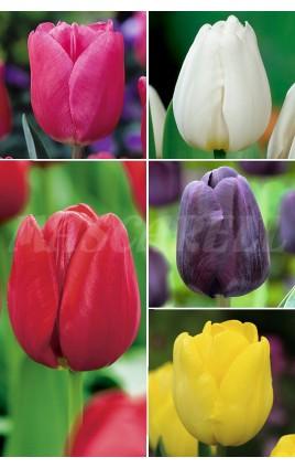 Tulipanes YUMBO 14/+ TP-6 250 FLOWERBULBS