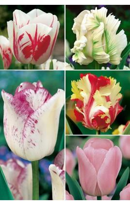 Tulipanes Serie ESPECIALES TP5 12/+ 300 FLOWERBULBS