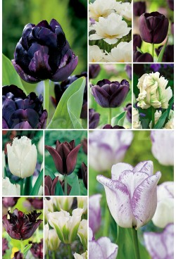 "Tulipanes ""Black&White"" S-88 11/12 300 BULBOS"