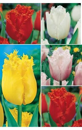Tulipanes Crispa TP-4, 11/12 300 FLOWERBULBS