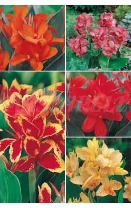Canna Indica CAN-1 cal. I  75 FLOWERBULBS