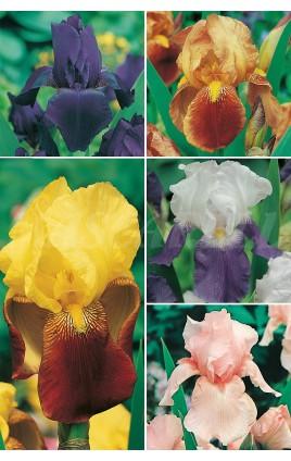 Iris Germanica IRG-1 cal. I/+ 100 FLOWERBULBS