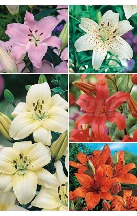 Liliums Asiaticos LI-2 cal.18/20 100 BULBOS