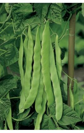Bean PANTHEON