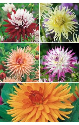 Dalias Cactus Especiales  DAL-4 cal. 75 BULBOS