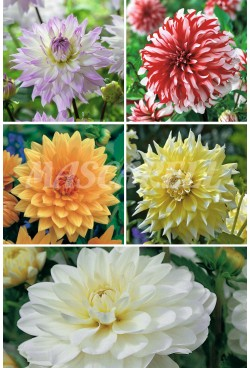 Dalias Decorativas Especiales  DAL-5 75 BULBOS