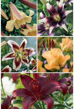 Liliums Especiales LI-4 cal.16/18 100 BULBOS