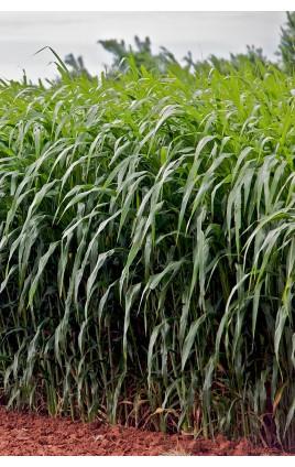 Pasto del Sudan PIPER / VERCORS / SREM