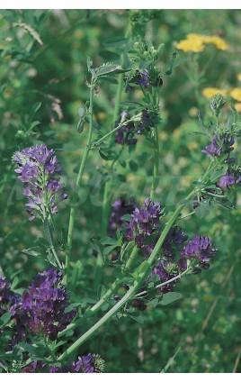 Alfalfa GEA R1, Inoculada Rhizobium spp