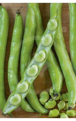 Bean Extra Precoz de Grano Blanco