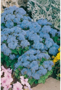 AGERATUM BLUE OF MEXICO