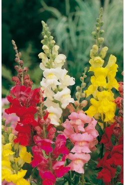 TALL SNAPDRAGON MIX