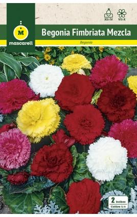 Begonia Fimbriata Mezcla de Colores