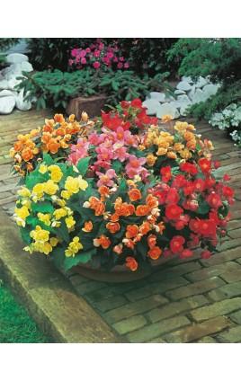 Begonia Multiflora Mezcla de Colores