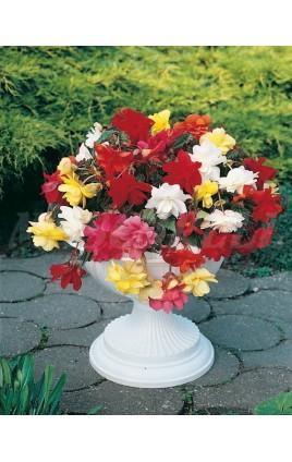 Begonia Pendula Mezcla de Colores
