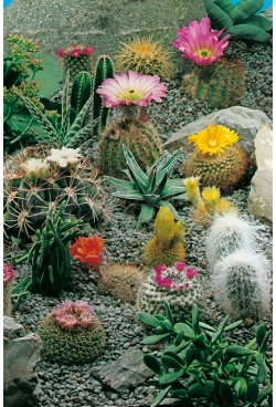 CACTUS AND SUCCULENTS MIX