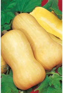 Calabaza Butternut - Eco