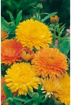 DOUBLE CALENDULA MIX