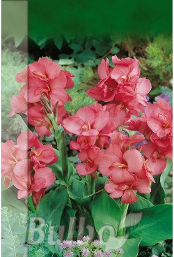 Canna Indica Pink President