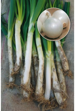 ONION WHITE LATE