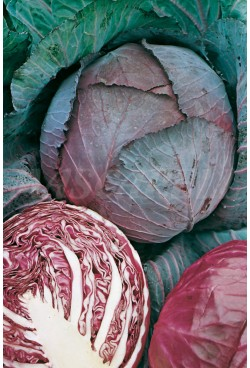 PURPLE RED CABBAGE