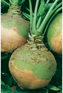 RUTABAGA TURNIP GREEN NECK